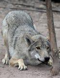 huka sig ned wolf Fotografering för Bildbyråer