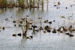 Hula鸟类保护区 免版税图库摄影