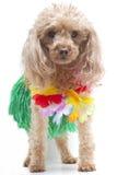 hula σκυλιών χορευτών Στοκ Φωτογραφίες