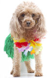 Hula Dancer Dog. A poodle dressed up like a hula dancer, isolated on a white background Stock Photos