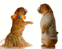 Hula dancing dog performing royalty free stock photos