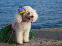 Hula Dog. Poodle with hula skirt and lei.  Text space left and right side Stock Photos