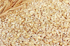 Hulled Barley. Botanically, the hordeum vulgare grains accented with a ripe barley twig or staw Stock Photography