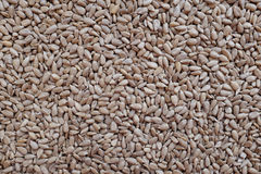 Hulled sunflower seed hearts. As an abstract background texture Stock Photos