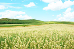 Hulless oat fields Royalty Free Stock Images