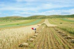 Hulless oat fields Stock Photo