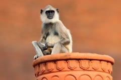 Hulman, Semnopithecus-entellus, Affe auf dem orange Backsteinbau, Naturlebensraum, Sri Lanka Städtische wild lebende Tiere Affe m Lizenzfreie Stockfotos