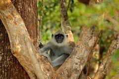 Hulman, Semnopithecus-entellus, Affe, der im Baum, Naturlebensraum, Sri Lanka sitzt Fütterungsszene mit Langur Wild lebende Tiere Lizenzfreies Stockfoto