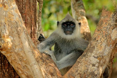 Hulman, Semnopithecus-entellus, Affe, der im Gras, Naturlebensraum, Sri Lanka sitzt Fütterungsszene mit Langur Wild lebende Tiere Stockfoto