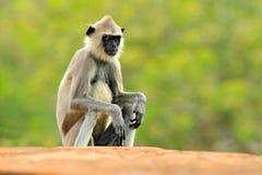 Hulman, Semnopithecus-entellus, Affe, der im Gras, Naturlebensraum, Sri Lanka sitzt Fütterungsszene mit Langur Wild lebende Tiere Stockbild