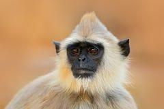 Hulman, Semnopithecus-entellus, Affe, der im Gras, Naturlebensraum, Sri Lanka sitzt Fütterungsszene mit Langur Wild lebende Tiere Stockfotografie