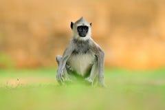 Hulman, Semnopithecus-entellus, Affe, der im Gras, Naturlebensraum, Sri Lanka sitzt Fütterungsszene mit Langur Wild lebende Tiere Lizenzfreie Stockfotografie