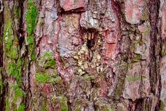 Hulptextuur van pijnboomschors met groen mos royalty-vrije stock fotografie