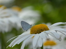 Hulst blauwe vlinder Stock Afbeeldingen