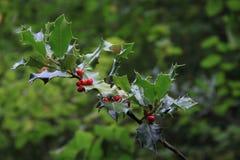 Hulst (Ilex-aquifolium) Stock Afbeeldingen