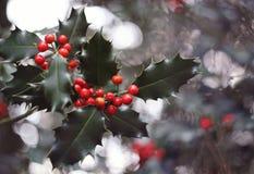 Hulstboom en rode bessen Stock Afbeelding