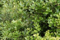 Hulstboom stock fotografie