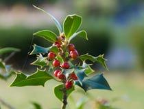 Hulsttakken met bessen, Ilex-aquifolium Stock Foto
