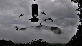 Hum-birds in the Mist. Hummingbirds with Mountain  in background Stock Photos