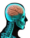 Humain Brain Anatomy Photos stock