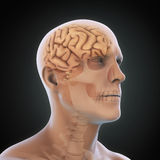 Humain Brain Anatomy Image stock
