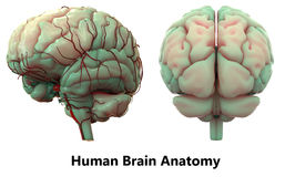 Humain Brain Anatomy Photographie stock