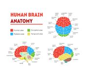 Humain Brain Anatomy Card Poster Vecteur illustration de vecteur