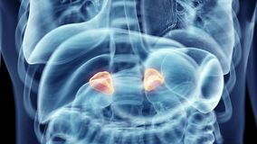 the human adrenal glands
