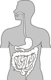 Human alimentary system Stock Images