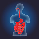 Human alimentary system Stock Photography