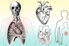 Human Anatomy. Diagram of the Heart, Lungs and upper torso Royalty Free Stock Images