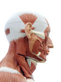 Human anatomy. Structure of head muscles and tendons Stock Images