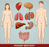 Human anatomy Royalty Free Stock Images
