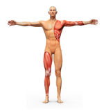 Human anatomy. Showing muscles underneath the skin stock illustration