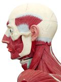 Human anatomy. Head muscle structure Royalty Free Stock Images