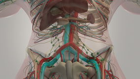 Human anatomy anatomy. Abdominal rotation showing different layers of bone structure, vascular system, organs and muscular system. Human anatomy. Abdominal stock footage