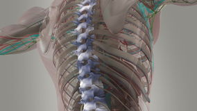 Human anatomy animation showing back, spine and neck. Human anatomy animation showing back, spine and neck, focusing on signals travelling up the spine to the vector illustration