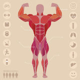 Human, anatomy, anterior muscles, sports, medical, vector. Human muscles, the anterior part of the body, flat style,  medical, vector Royalty Free Stock Photos