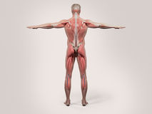 Human anatomy with back view of full body. Showing muscular system, vascular system and skin on a stylish white background stock illustration