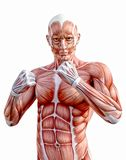 Human anatomy body muscles fighting fists stock photo