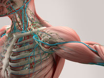 Human anatomy chest from low angle. Bone structure. Veins. On plain studio background.Human anatomy detail of shoulder. Muscle, bo. Human anatomy detail of stock illustration