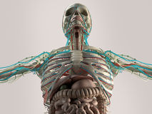 Human anatomy chest from low angle. Bone structure. Veins. On plain studio background. Stock Images