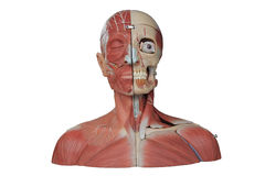 Human anatomy. Close up to face human anatomy Royalty Free Stock Image