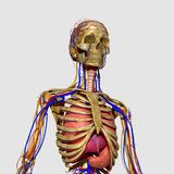 Human Anatomy Stock Images