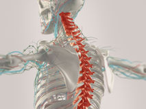 Human anatomy in 3D. 3D illustration of human anatomy showing concept of chronic back pain Stock Image