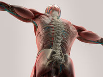 Human anatomy detail of back,spine. Bone structure, muscle. On plain studio background. Royalty Free Stock Photos