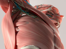 Human anatomy detail of chest and shoulder. Muscle, arteries. On plain studio background. Stock Photos