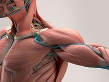 Human anatomy detail of shoulder. Muscle, arteries on plain studio background. Professional lighting royalty free illustration