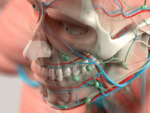 Human anatomy detail of skull and shoulder. Muscle, arteries. On plain studio background.Human anatomy detail of skull and shoulde Stock Photos