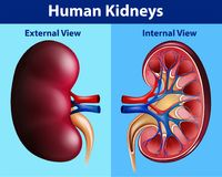 Human anatomy diagram with kidneys. Illustration Royalty Free Stock Images